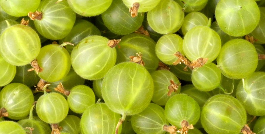 Fresh Gooseberries Hursts Berry Farm